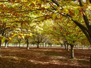 Chestnut Orchard in autumn